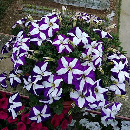 XINDUO Graines de Plantes,Jardin Quatre Saisons intérieur et extérieur Balcon Gloire du Matin espèces de Fleurs-F_50,Maison Jardin Extérieurplante