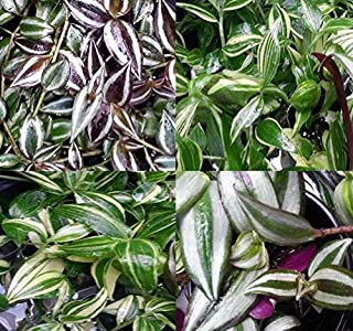 10 x Mixed Tradescantia pallida Cuttings or Wandering Jew Mix Plant CUTTINGS House Plant, Excellent Clean Air Plants for Indoor (Wandering Jew Mix (10 Cuttings))