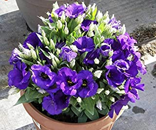 Mr.seeds Purple Eustoma Lisianthus Multicolor DIY seeds of perennial plants for the home and garden - 100 pieces.