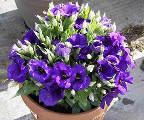Lisianthus in a pot