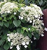 Gardening Express | Hydrangea petiolaris | Climbing Hydrangea | Pack of Three Hydrangea anomala Plants | Deciduous