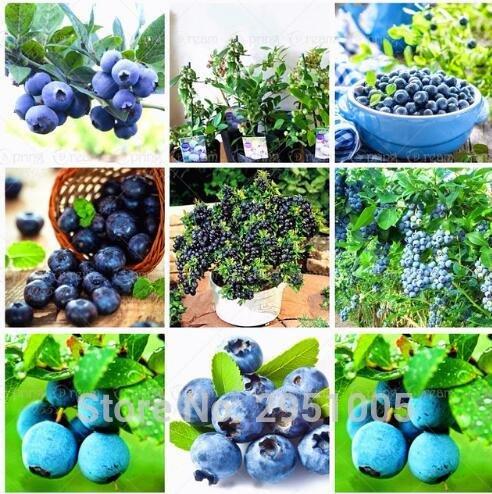 200pcs/lot de semences de bleuets Bonsai graines de fruits comestibles, intérieur, extérieur graines bonsaï disponibles plantes en pot pour le jardin de la maison