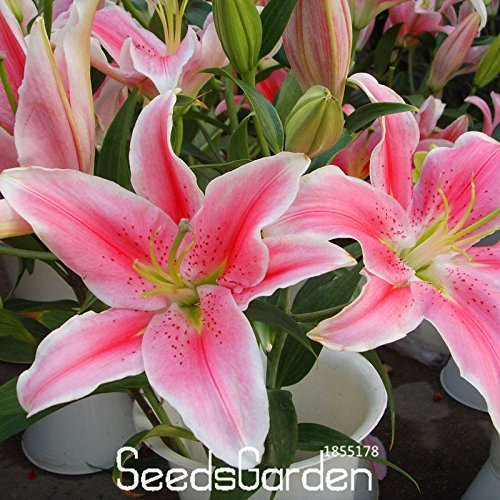 Big Sale! 50 Semences / Pack Lily Seeds Pink Lilium Brownii Balcon Bonsai Plant Parfum Lily Flower Seeds,