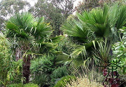 Famille Arecaceae Trachycarpus fortunei Graines 300pcs, chinois Seeds Windmill Palm Jardinage, largement cultivé Seeds Chusan Palm