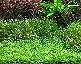 Aqua Plants Riccia Fluitans 4x6 cm Portion