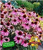 BALDUR-Garten Echinacea purpurea,3 Pflanzen