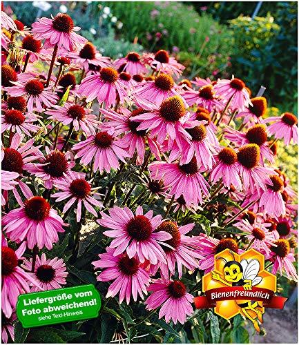 BALDUR-Garten Echinacea purpurea,3 Pflanzen Purpuroter Sonnenhut, winterhart