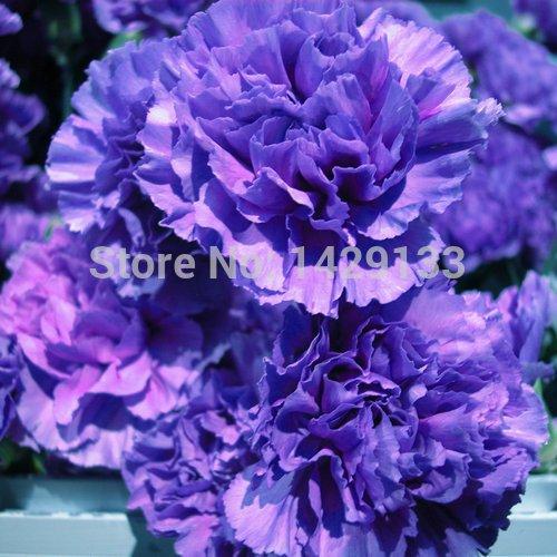 2016 200pcs Carnation Graines Bonsai Dianthus Fleurs Graines colofrul Garden Home Plante Semillas pot
