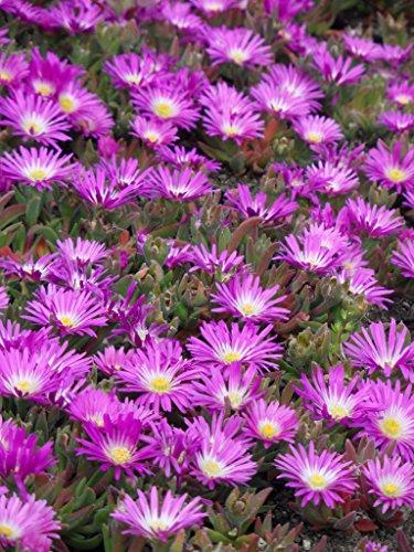 Delosperma sutherlandii - Mittagsblume, 3 Pflanzen