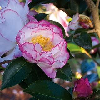 camellia inspiration