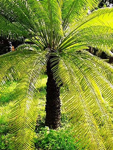Cycas de SEED Reine Sago Palm Cycas rare en culture Difficile de trouver des semences