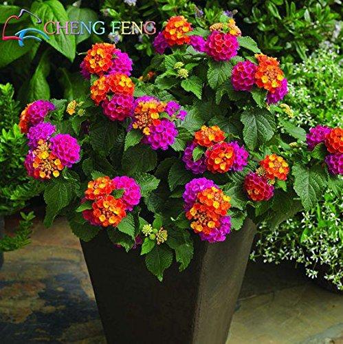 150 pz Semi Rare Olanda Arcobaleno Fiore di giardino domestiche di semi di fiore raro semi variopinti Lantana