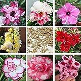 11:ミックスカラーカーネーションの花の種ホームガーデン用の美しい素敵な花の種200粒子/ロット