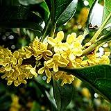 Osmanthus Seeds Lot de 10 graines parfumées pour plantes d'arbres parfumées Graines.
