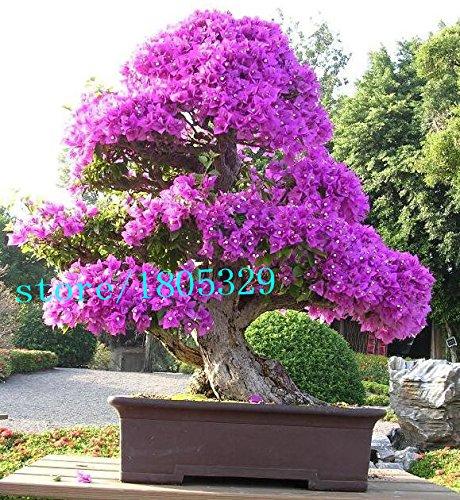 Jolie Bonsai petite plante, Graines Mini pot Rose Cherry Tree 10 Piece