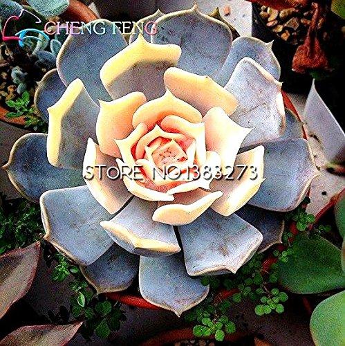 Bureau en pot Fleurs Charnu Free Ship 100pcs rares Graines Mix couleur Lithops Succulentes Raw Pierre Cactus Seeds Pour Salon