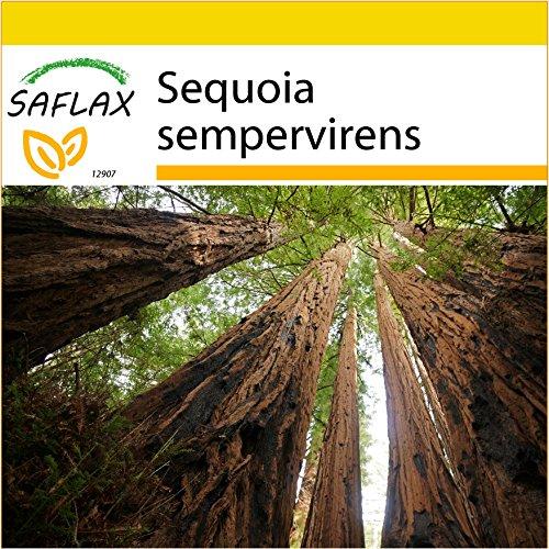 SAFLAX - Set de cultivo - Secuoya roja - 50 semillas - Con mini-invernadero, sustrato de cultivo y 2 maceteros - Sequoia sempervirens