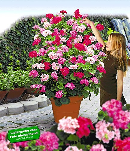 BALDUR-Garten Kletter-Geranien PAC®