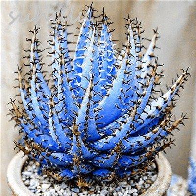 SwansGreen 5: Heiße PC des Verkaufs 20 Cactus Aloe Samen gemischt Ausgezeichnete Zimmerpflanzen Sukkulenten Aloe Vera Seed Verwendung Schönheit Essbare Kosmetik Herb Bonsai 5