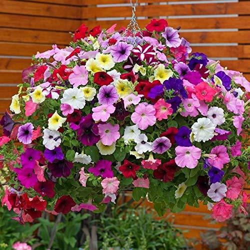 NIKA SEEDS - Flowers Petunia Unicum Mix F1 Annual - 500 Seeds