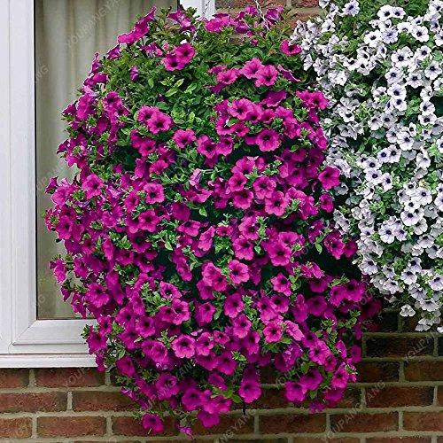 100 Graines Petunia Graines Citron Tranche Superbells Calibrachoa Pétunia annuelle Graines de fleurs rares Couleur de la fleur Bonsai plantes pour la maison blanche