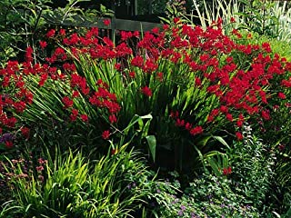 Crocosmia Lucifer.119 Seed, Bright Red Flowers, Ez to Grow from Seeds, Mgg003