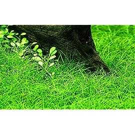 Tropica Aquarium Pflanze Eleocharis parvula
