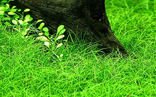 Tropica Aquarium Pflanze Eleocharis parvula Wasserpflanzen Topf Nr.132C Aquariumpflanzen