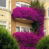 begorey Garten - Hängende Petunien Blumensamen 200 Stk. Morgenruhm Samen Mehrfarbig Petunia Samen Winterhart Mehrjährig Balkon Fensterbrett Blumengruppe Dekoration (200 Stk, 14)