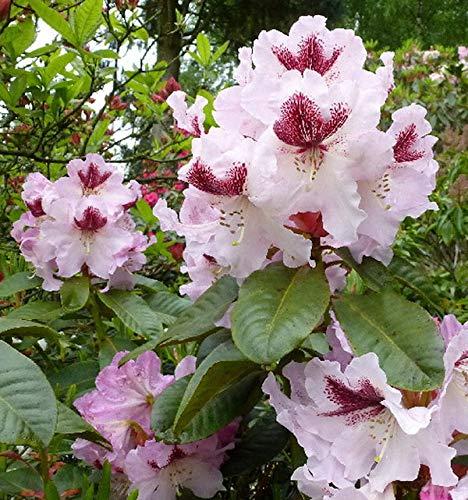 Großblumige Rhododendron Herbstfreude...