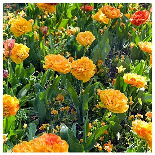 Plant & Bloom - Tulpenzwiebeln aus Holland, 25 Zwiebeln - Einfach zu züchten - Zum Pflanzen im Herbst, Frühlingsblüte - Orangenfarbwechsel-Blüten - Hochwertige holländische Qualität