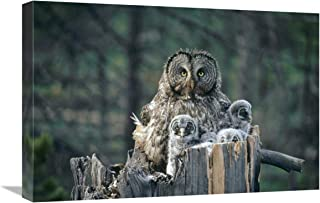 "Great Gray Owl with owlets in nest Cavity ATOP snag, Spring, Idaho-Canvas Art-24""x16"""
