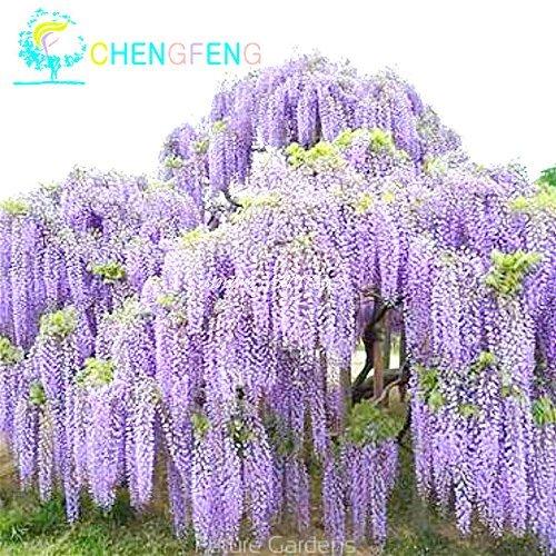 Graines 100pcs Mix Violet Wisteria fleurs rares Graines Bonsaï Belle Easy Grow Pour Diy jardin Livraison gratuite