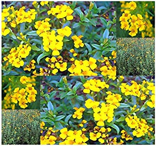 Risalana 50 or 3,700 x Mexican Mint Marigold Herb Seeds - Tagetes lucida - Fresh or Dried Leaves are Used (Pkt Size - 50 Seeds)