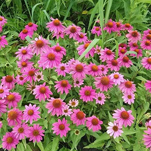 XINDUO Fleurs Sauvages en mélange Graines,Graines de Fleurs de Jardin d'échinacée-500 Capsules,arôme épanoui graines