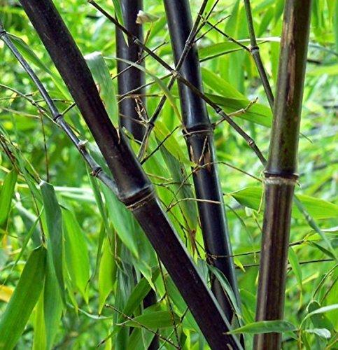 100 graines de graines fraîches bambou noir - Phyllostachys Nigra (Hardy)