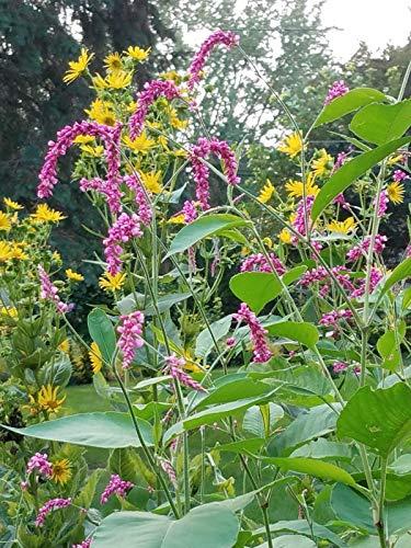 PLAT FIRM GRAINES DE GERMINATION: KISS ME SUR Gartentor SEEDS - Paket von 100 w LIVRAISON GRATUITE