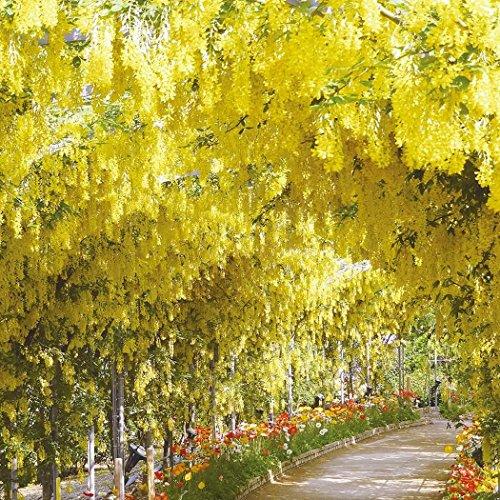 Beautytalk-Garten Glyzinie Baum Samen Blauregen auf Stamm winterhartes Stämmchen Haus Garten Balkon Dekoration