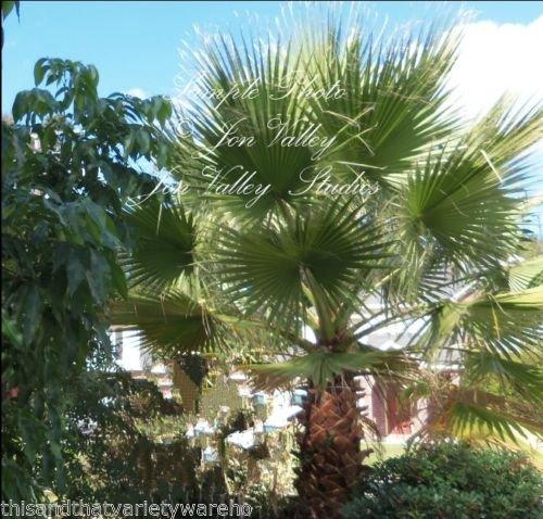 Washingtonia Filifera California Fan Palm Samen Kälte Dürre, Salz Wind Tolerant