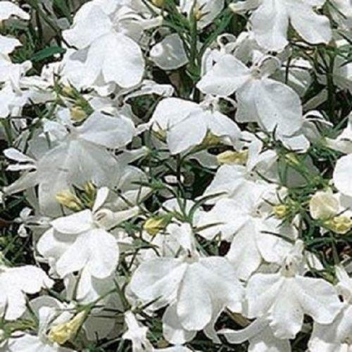 Graines Lobelia Riviera blanc multi pastillées Seeds 50 graines