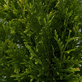 Plants by Mail # #3 (2.4 Gal) Green Giant Arborvitae, 2-3 Foot Tall