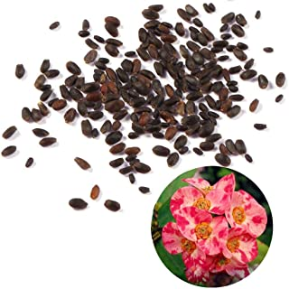Mifutu Seed Sand Plants- Rare Euphorbia Milii Hybrids Plant Seeds Potted Bonsai Plants for Home Garden Flowers