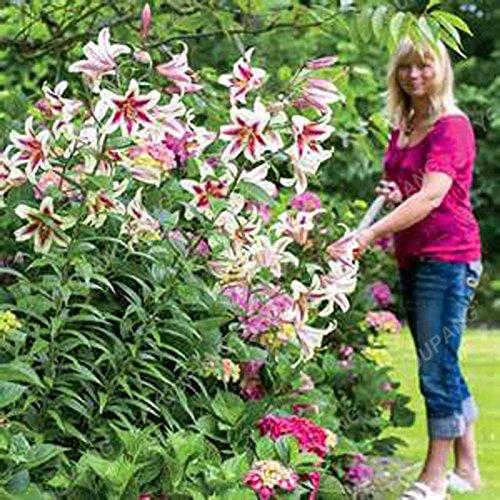 Promotion!! 100 pcs/sac géant Lily Graines pas cher Lily Graines de fleurs Barbade Lily en pot Graine Bonsai Balcon Fleur Livraison gratuite Noir