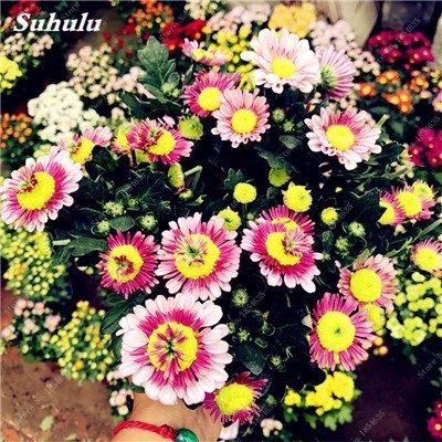Grosses soldes! 50 Pcs Daisy Graines de fleurs crème glacée parfum de fleurs en pot Chrysanthemum jardin Décoration Bonsai Graines de fleurs 9