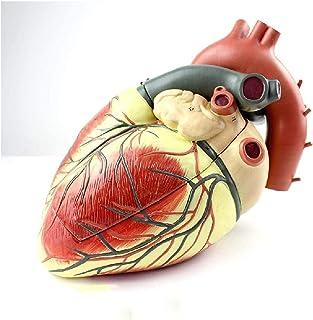 Hart anatomisch uitbreidingsmodel, arts-patiënt communicatiemodel, hartmodel, anatomische medische interne organen voor le...