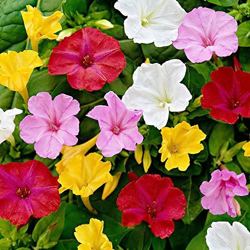 6x Mirabilis jalapa   Wunderblume   Farbenfroher Mix   Mehrjährige Blütenpflanzen   Wurzelnackt