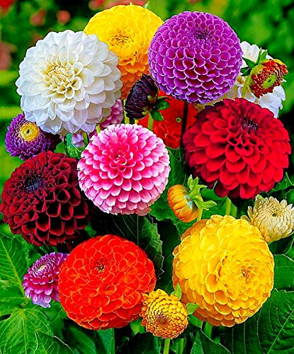 Seeds4planting - Seeds Dahlia Pompon Mix Annual Beautiful Flower Non GMO