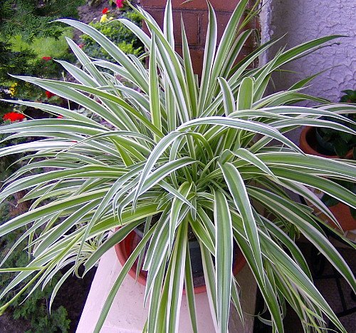 """Reverse Variegated Spider Plant - Easy to Grow/Cleans The Air - 4"""" Pot"""
