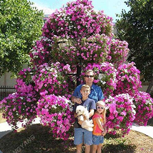 200pcs Bonsai couleurs mélangées Petunia Seeds belles fleurs pour jardin Plantes Bonsai Pétunia Graines de fleurs Facile à cultiver des plantes jaune