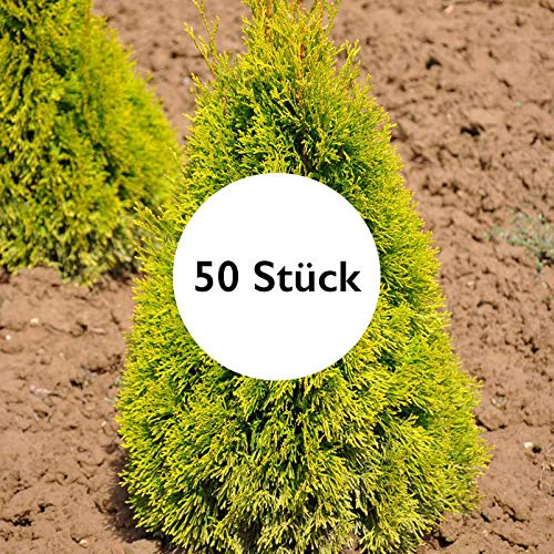 Pflanzen Kölle 50er-Set Heckenkonifere Thuja OCC. Golden Smaragd®, Höhe 60-80 cm, im 5 Liter Topf